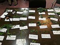 採集した山菜をこのように展示
